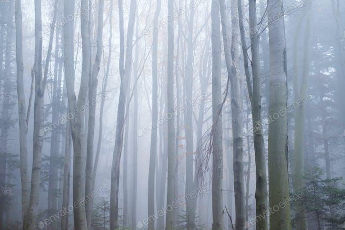 Таинственный темный буковый лес в тумане