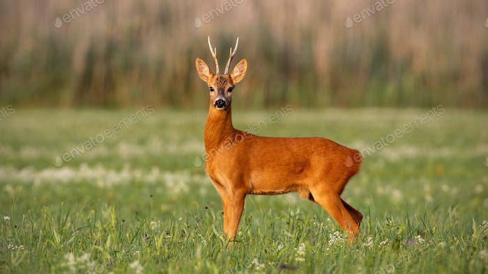 Roe deer, capreolus capreolus, buck in summer on meadow with flowers at sunset