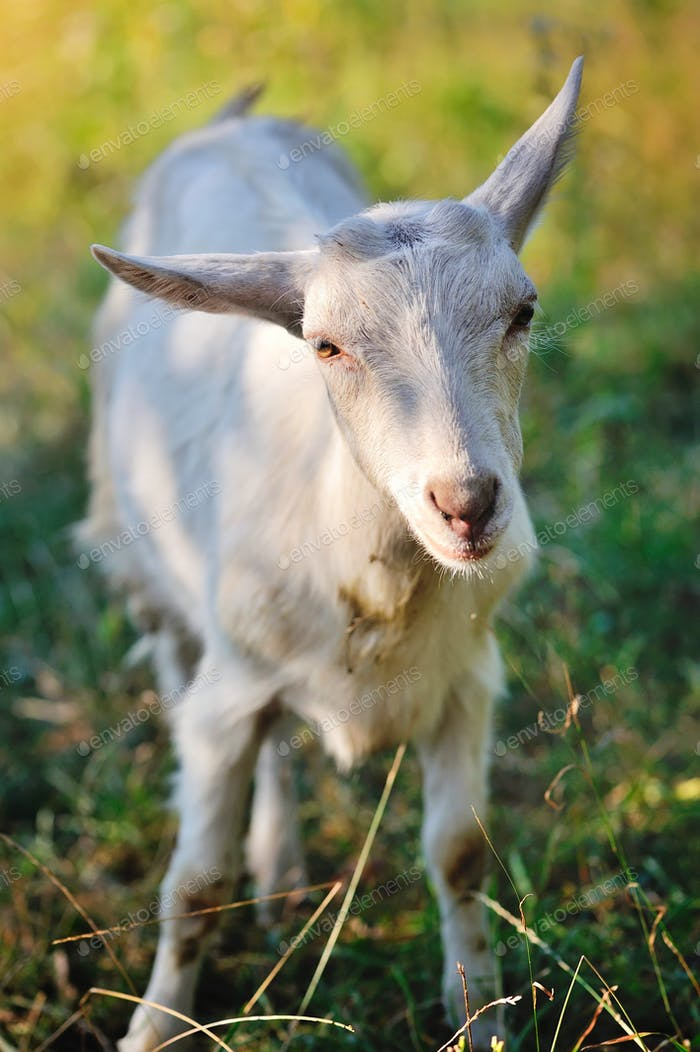 A young goat in the pasture