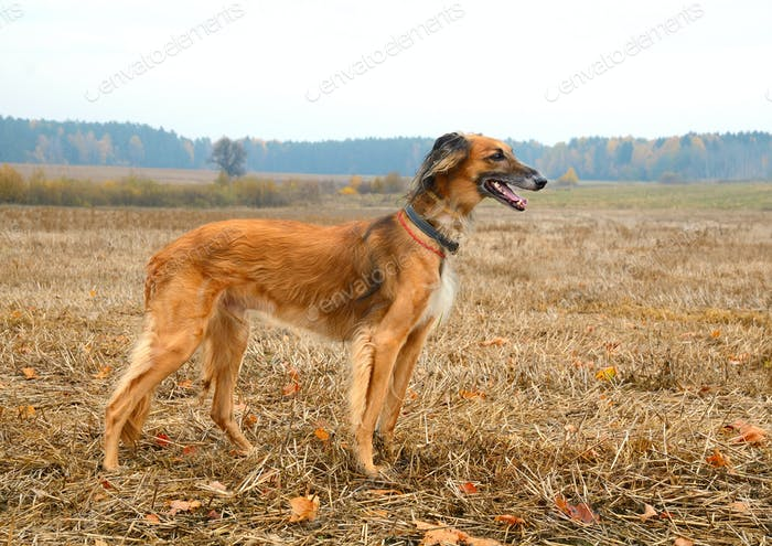 Kazakh greyhound