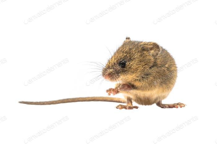 Niedliche Ernte Maus isoliert auf weißem Hintergrund