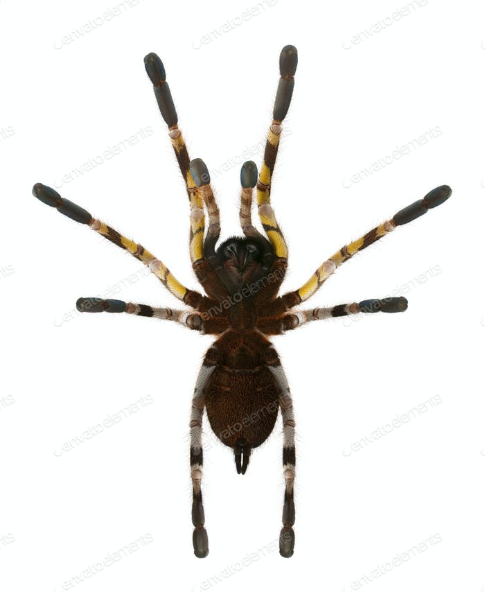 Tarantula spider, Poecilotheria Fasciata, in front of white background