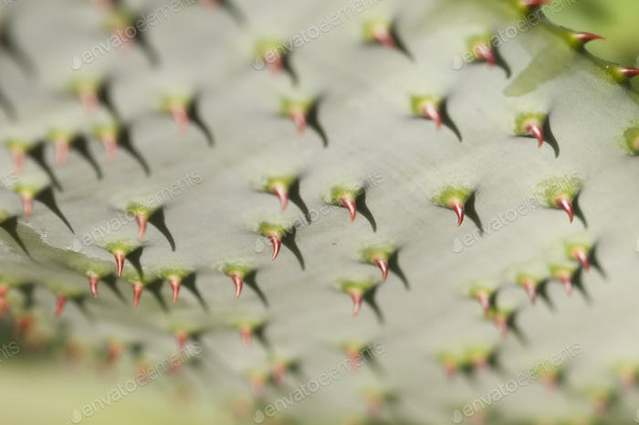 Succulent Plant Leaf with Red Thorns
