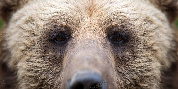 Closeup of the eye of a bear