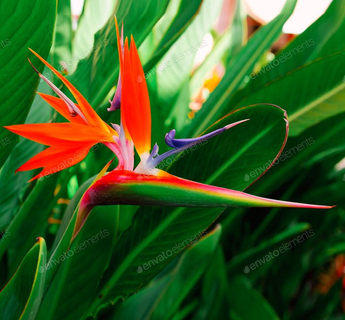 Tropical Flover Strelitzia. tropical print. Minimal fashion art