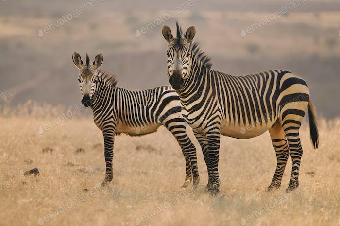 Two mountain zebras, Equus zebra, on the plains at Palmwag, Torra Conservancy, Damaraland, Namibia