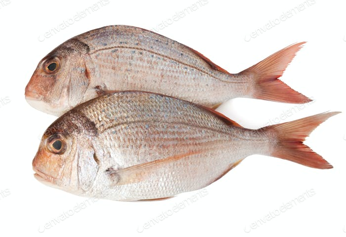 two pagellus sea bream