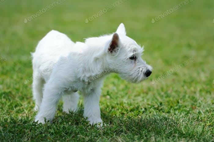 White baby dog in green grass