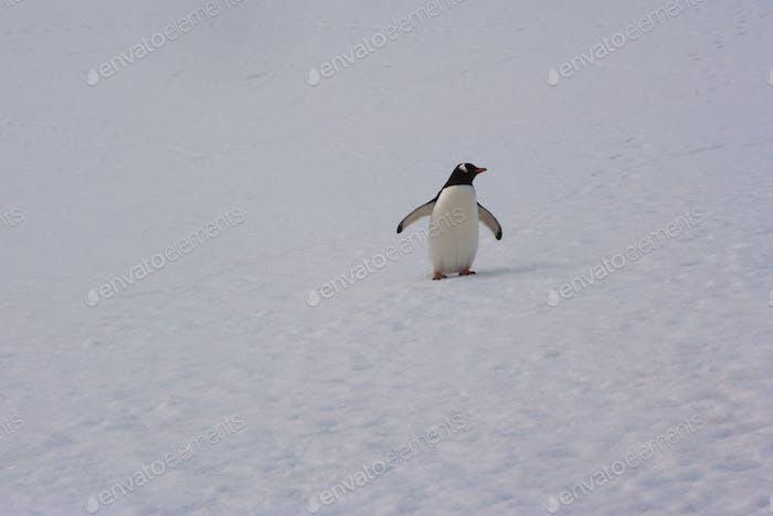 Pingüino de Gentoo, Antártida