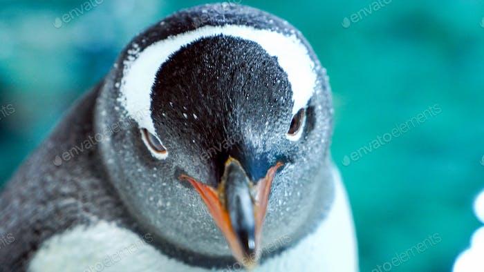 Gentoo Penguin Close Up 7