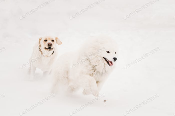 Two Funny Dogs - Labrador Dog And Samoyed Playing And  Running O