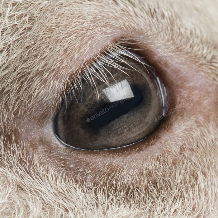 Close-up on the eye of a Lamb (8 weeks old) isolated on white