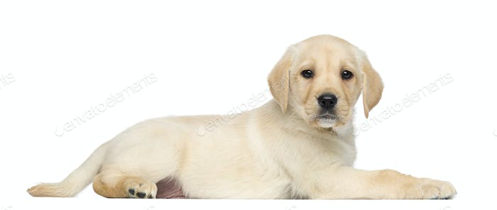 Labrador Retriever Puppy, 2 months old, lying and facing, isolated on white