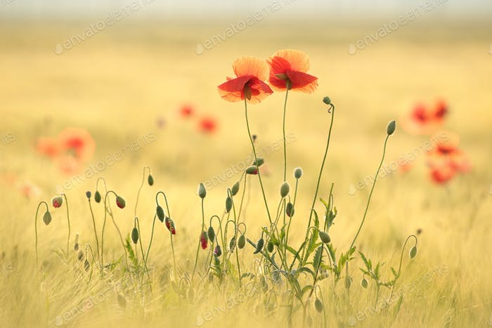 Poppies in the field at sunrise