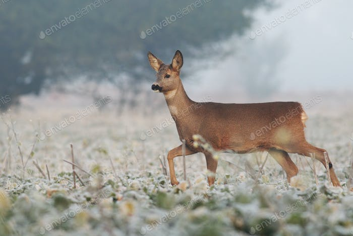 Roe deer doe walking through agricultural field in winter