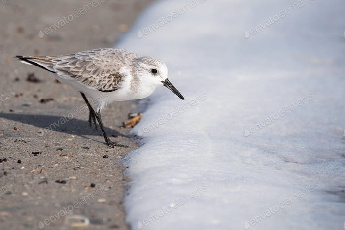 Sanderling with Sea Foam