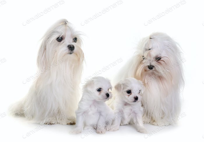 family maltese dogs