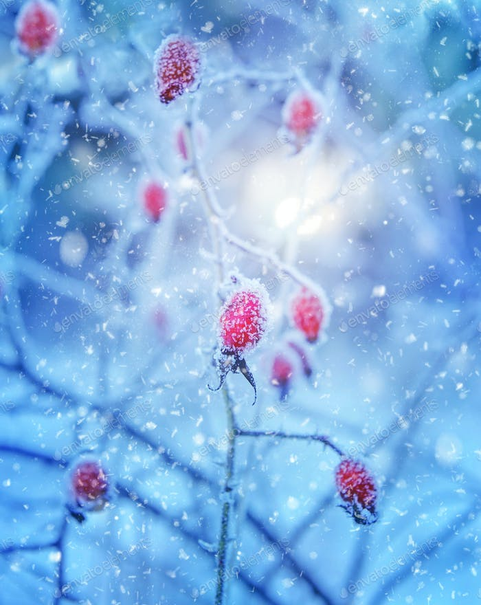 Red rosehip berries with hoar frost
