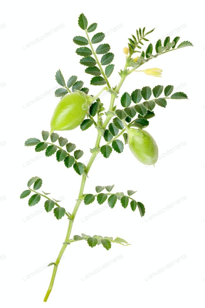 Kabuli chickpea C. arietinum, plant, paths