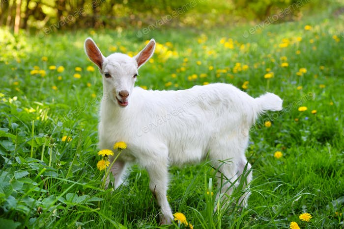 White little goat standing on green grass with yellow dandelions