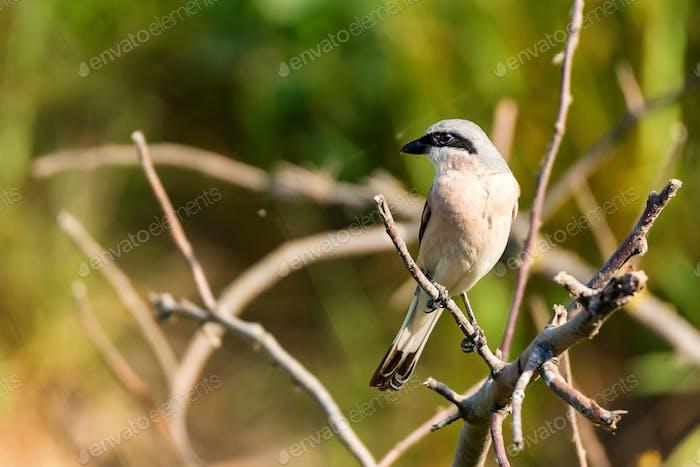 Lesser grey shrike or Lanius minor rests on branch