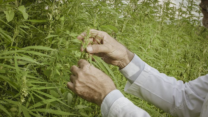 Scientist checking hemp plants in the field