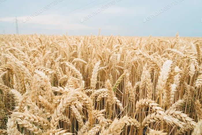 Goldener Weizenhintergrund
