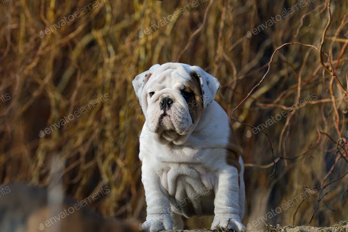Portrait of puppy english bulldog