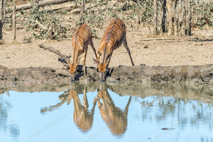 Nyala bulls and cows drinking water in a waterhole