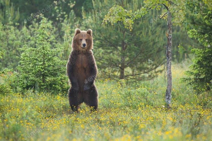 Impressive brown bear standing upright on glade in forest in summer