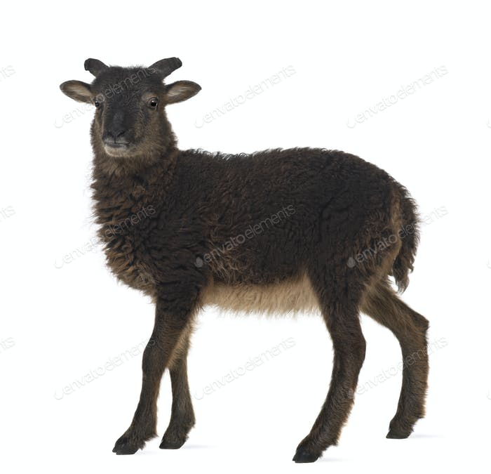 Goat standing against white background