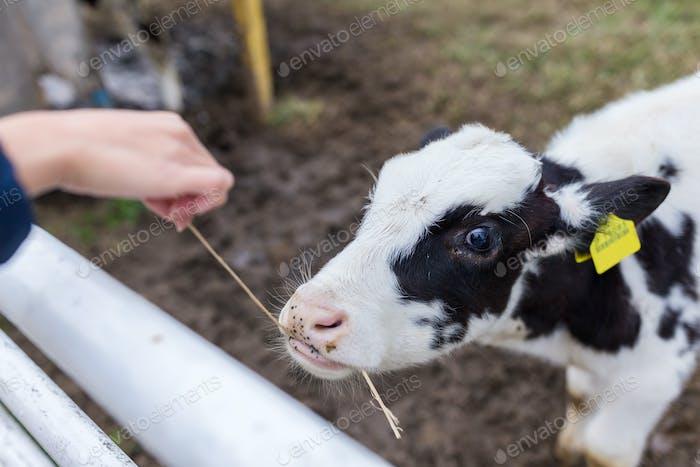 Baby Kuh auf dem Bauernhof