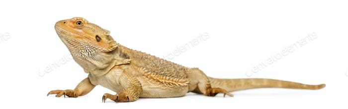 Bearded Dragon, Pogona vitticeps, isolated on white