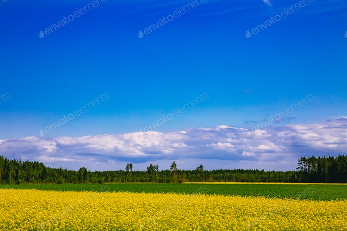 Countryside road along yellow rapeseed flower field and blue sky in rural Finland
