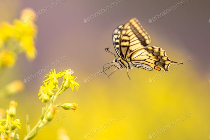 Flying Old World swallowtail butterfly