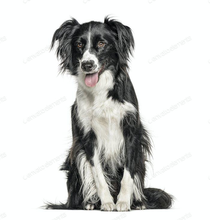 Happy schwarz-weiß Crossbreed Hund keuchend, isoliert auf weiß