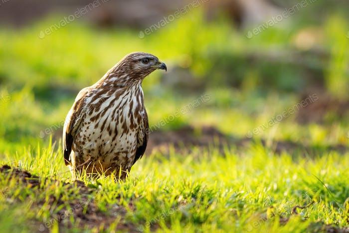 Majestic common buzzard standing on glade in sun light
