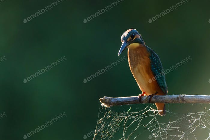 Kingfisher or Alcedo atthis perches on branch