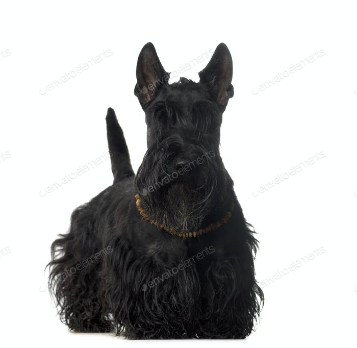 Scvottish dog standing, cut out