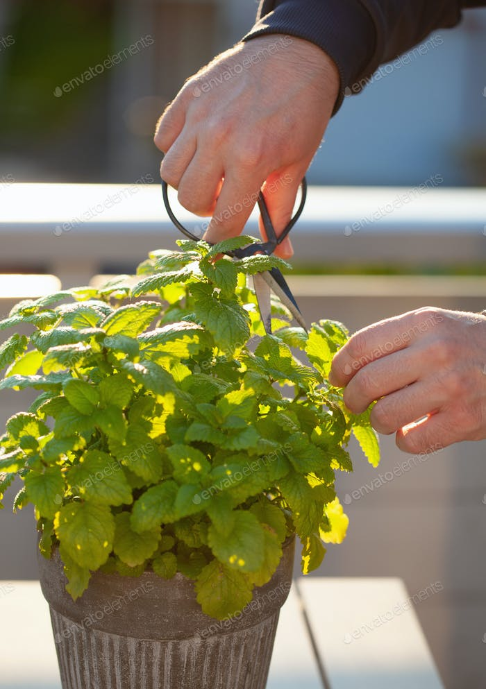 gardener picking lemon balm (melissa) in flowerpot on balcony