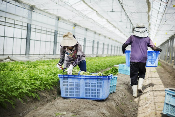 Women working in a greenhouse harvesting a commercial food crop, the mizuna vegetable plant.