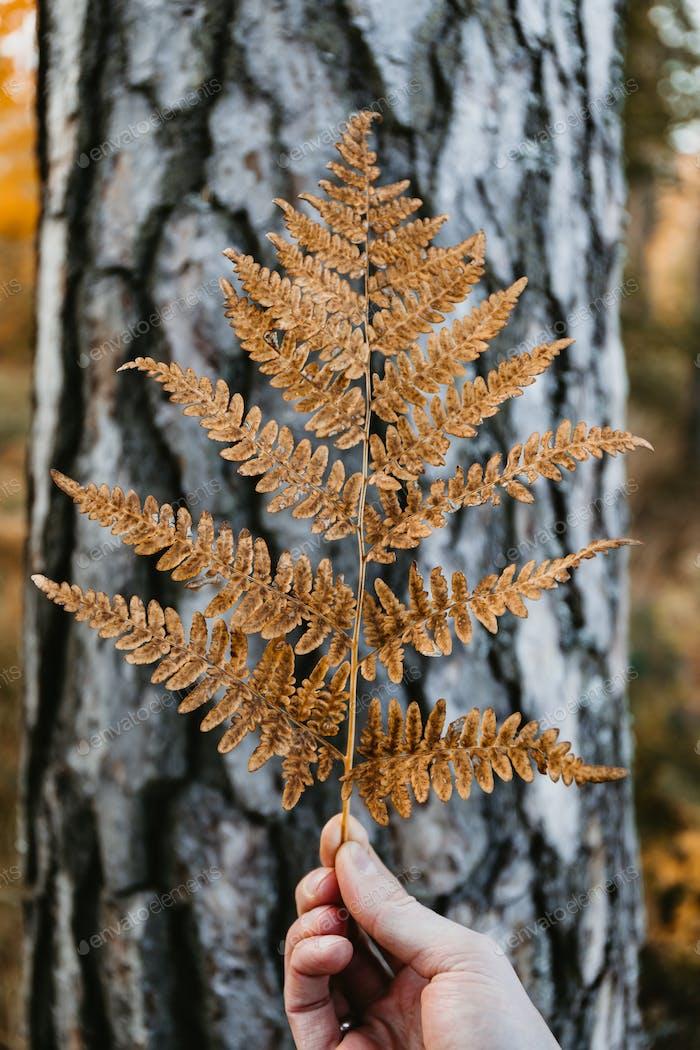 Man's hand holds a orange fern leaf against birch trunk. Creative Autumn nature still life.