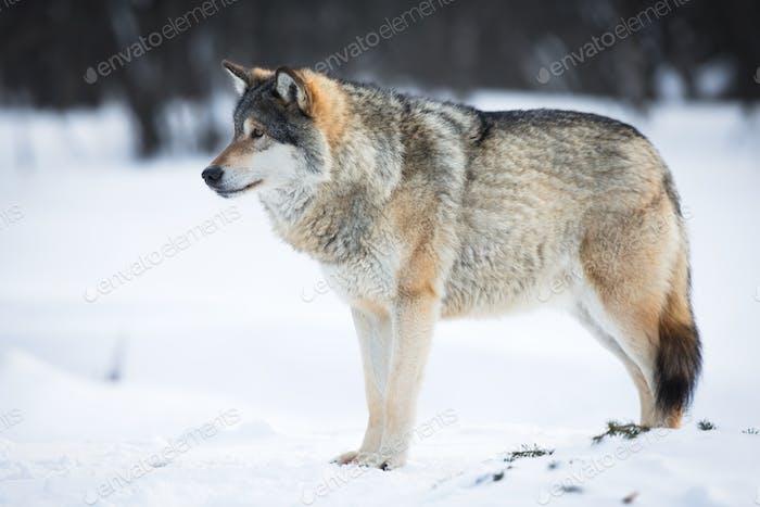 Uno lobo en la Nieve