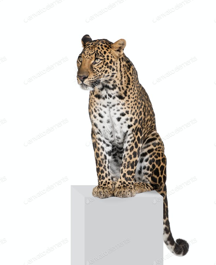 Leopard, Panthera pardus, sitting on pedestal in front of white background, studio shot