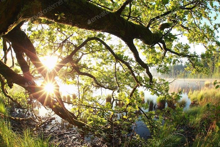 gold sun rays through oak leaves