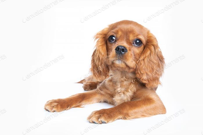 Puppy of king charles cavalier spaniel isolated on white