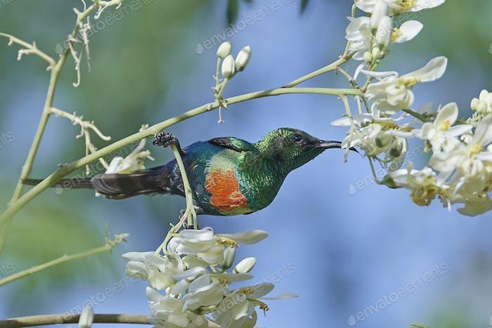 Schöner Sonnenvogel (Cinnyris pulchella)