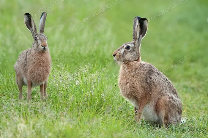 Hares in a clearing