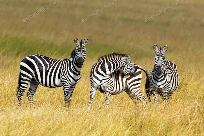 Cebra en pastizales en África