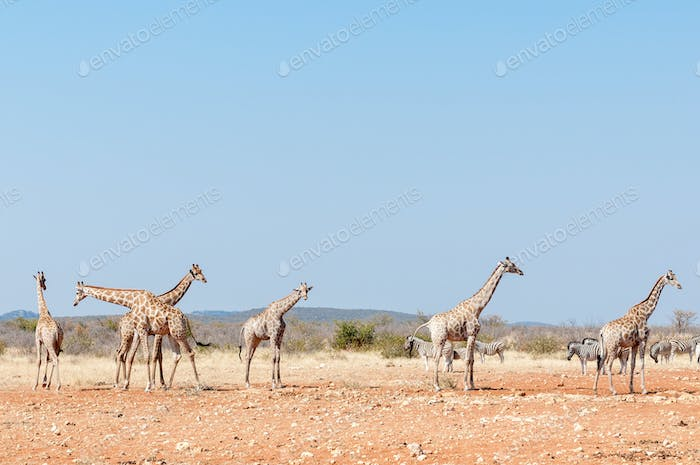 Giraffes and Burchells Zebras